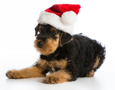 airedale terrier dog: christmas puppy - airedale terrier puppy wearing santa hat laying down on white background