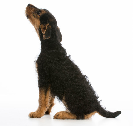 airedale terrier dog: airedale terrier puppy looking up on white background Stock Photo