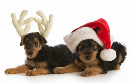 airedale terrier dog: christmas puppies - airedale terrier puppies dressed up like santa and rudolph on white background