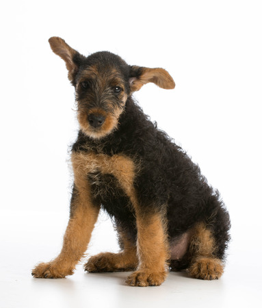 airedale terrier dog: airedale terrier puppy sitting on white background
