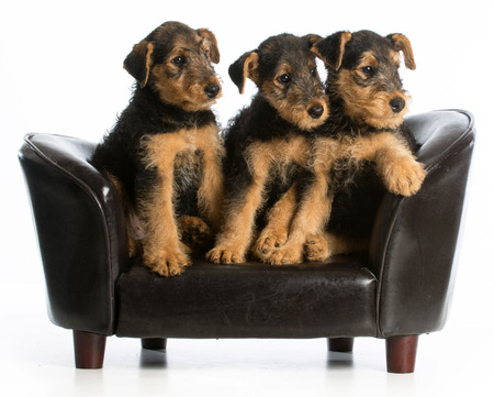 airedale terrier dog: airedale terrier litter sitting on a dog couch on white background
