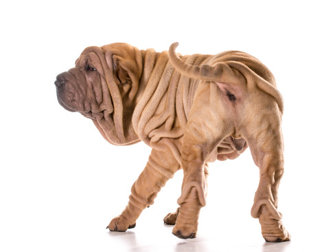 sharpei: chinese shar pei turning around isolated on white background Stock Photo
