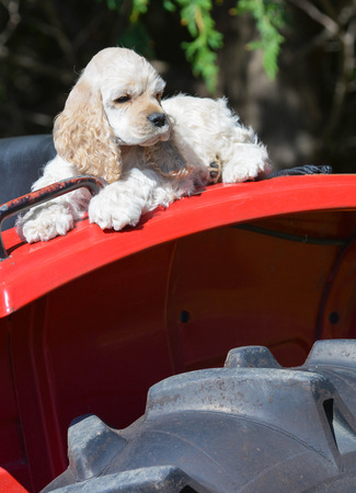 fender: farm dog - cocker spaniel puppy laying on fender of a tractor