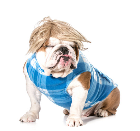 dog in costume: funny dog wearing  blue coat and blond wig Stock Photo