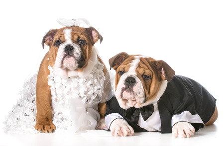 bride and groom background: dog bride and groom puppies