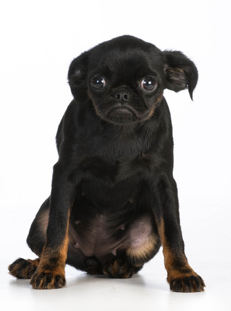 brussels griffon: worried puppy - brussels griffon with worried expression on white background Stock Photo