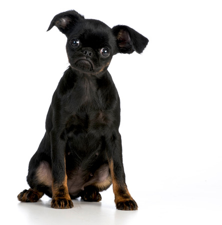 looking at viewer: brussels griffon puppy looking at viewer on white background