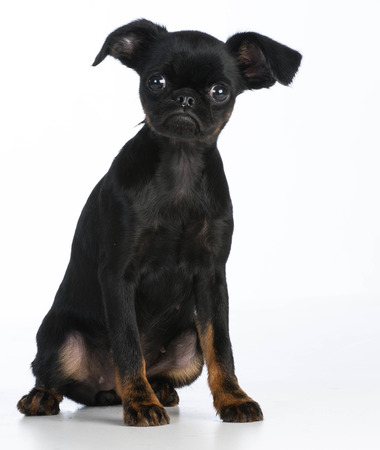 looking at viewer: cute puppy - brussels griffon puppy looking at viewer on white background Stock Photo