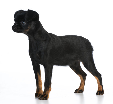 brussels griffon: brussels griffon puppy standing on white background