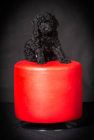 viewer: barbet puppy sitting on red stool on black background