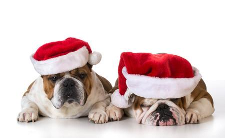 bull dog: christmas dogs - two english bulldogs wearing santa hats on white background