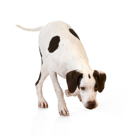 running nose: dog sniffing the ground on white background Stock Photo