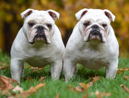 similar: two english bulldogs standing in the grass looking at viewer