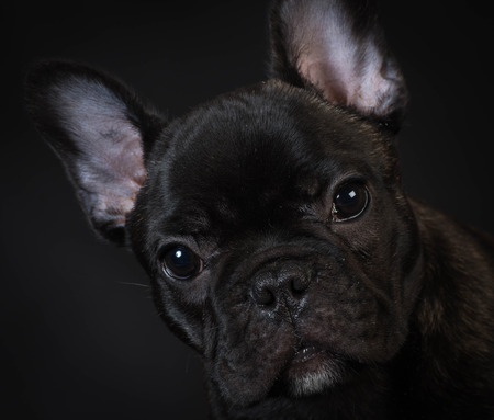 brindle: french bulldog puppy portrait on black background