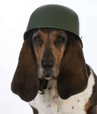 hound: canine soldier - basset hound wearing military helmet on white background