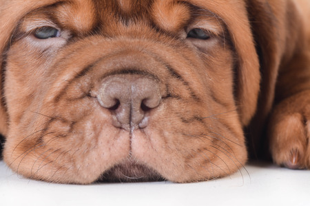 dogue de bordeaux: cute puppy - dogue de bordeaux puppy laying down on white background - 5 weeks old
