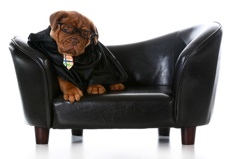 dogue de bordeaux: business dog - dogue de bordeaux wearing business clothes sitting on a leather couch on white background