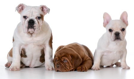 french mastiff: three puppies - english bulldog, dogue de bordeaux and french bulldog isolated on white background