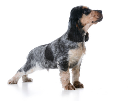 english cocker spaniel: cute puppy - english cocker spaniel puppy  standing on white background