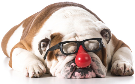 clown's nose: dog wearing clown glasses on white background - english bulldog
