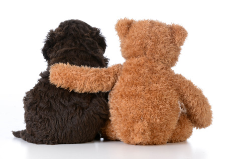 animals and pets: security - teddy bear with arm around a cute barbet puppy on white background Stock Photo