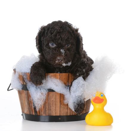 bath: dog bath - barbet puppy getting a bath on white background
