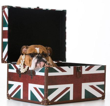 english flag: english bulldog in a british flag crate on white background Stock Photo