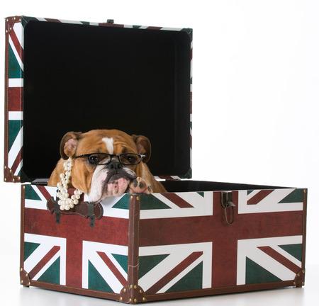 british bulldog: english bulldog in a british flag crate on white background Stock Photo