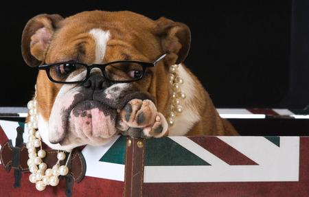 british bulldog: english bulldog in a british flag crate