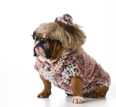 woman's clothing: female dog wearing womans clothing on white background - english bulldog Stock Photo