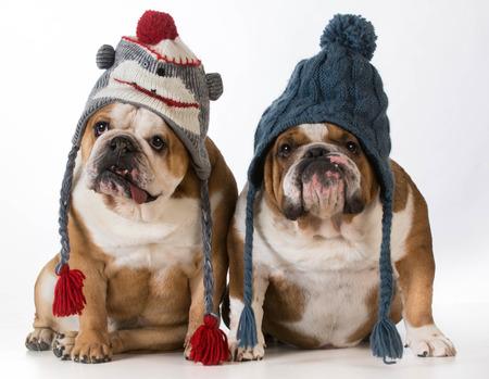 perros vestidos: dos perros vestidos para el invierno - bulldog inglés con sombreros de invierno