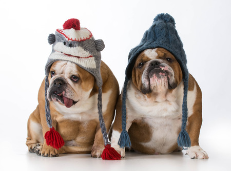 pets: two dogs dressed for winter - english bulldogs wearing winter hats