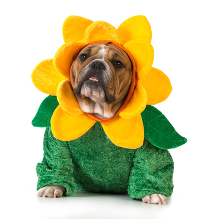 dog dressed like a flower - english bulldog wearing sunflower costume on white background