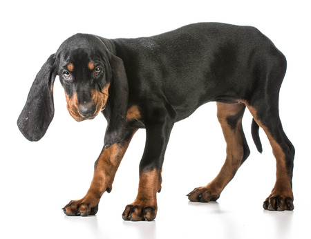 hounds: black and tan coonhound standing on white background