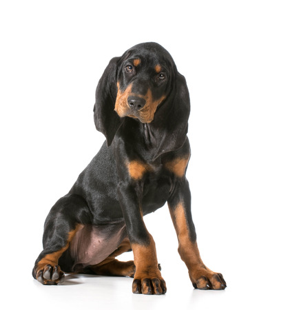 looking at viewer: cute puppy - black and tan coonhound sitting looking at viewer Stock Photo