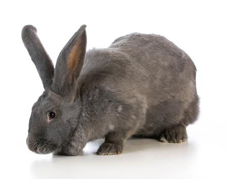 giant flemish bunny on white background