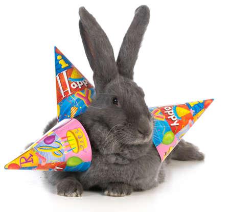 birthday bunny - giant flemish rabbit wearing three birthday hats on white background Stock Photo