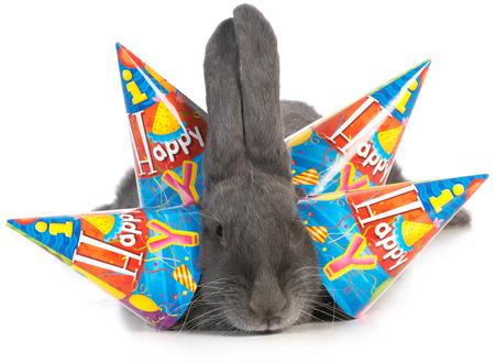 flemish: birthday bunny - giant flemish rabbit wearing four birthday hats on white background
