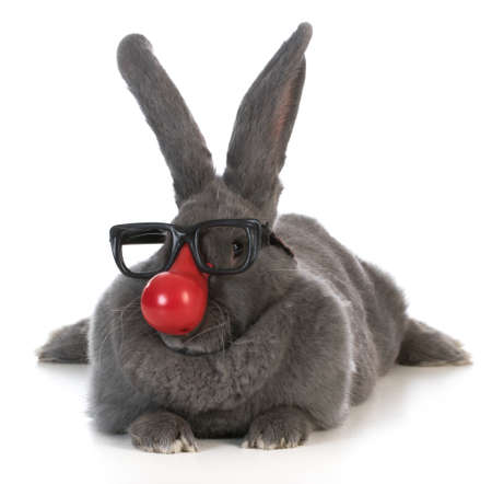 flemish: funny bunny - giant flemish rabbit wearing clown nose and glasses on white background