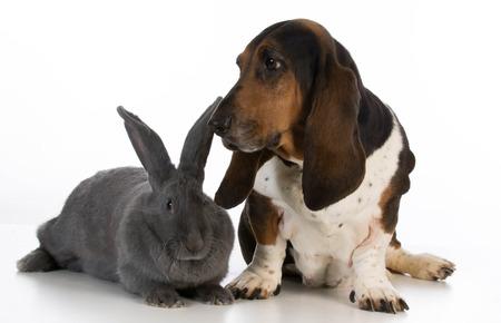 animals together: basset hound sitting beside a giant flemish rabbit on white background