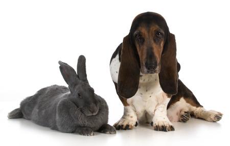 hounds: hunting dog - basset hound sitting beside a giant flemish rabbit on white background
