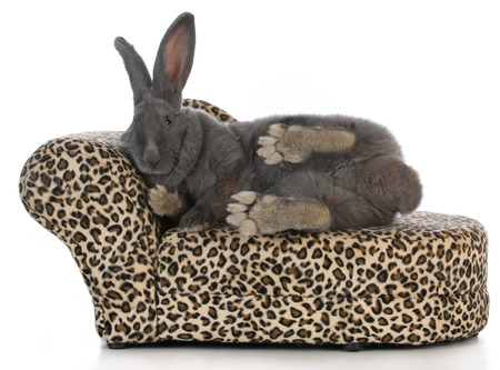 flemish: fancy bunny - giant flemish bunny stretched out on a leopard print chaise lounge isolated on white background