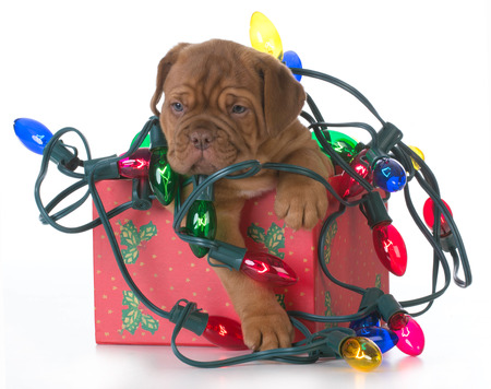 mess: christmas puppy - dogue de bordeaux puppy in a christmas present tangled up in colorful christmas lights on white background