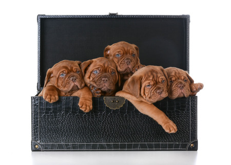 dogue de bordeaux: litter of puppies - five week old dogue de bordeaux pups in a trunk on white background Stock Photo