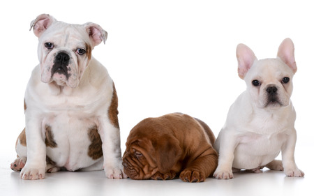 intrigued: three puppies - english bulldog, dogue de bordeaux and french bulldog isolated on white background