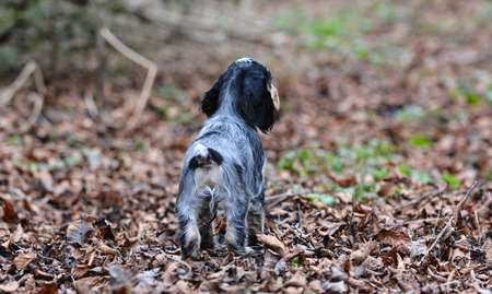 english cocker spaniel: english cocker spaniel puppy outside in the autumn leaves Stock Photo