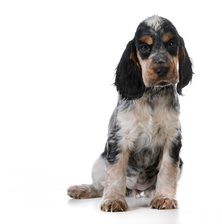 english cocker spaniel: cute puppy - english cocker spaniel puppy  sitting on white background Stock Photo