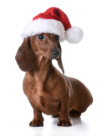 christmas costume: christmas dog - miniature dachshund wearing santa hat on white background Stock Photo