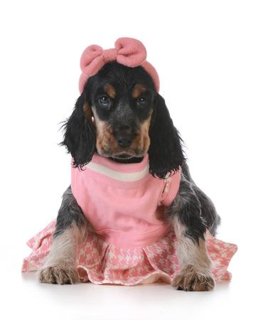 cute puppy - english cocker spaniel puppy  wearing pink dress on white background photo