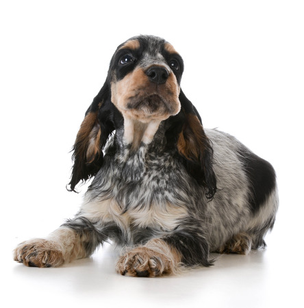 english cocker spaniel: cute puppy - english cocker spaniel puppy  laying down on white background Stock Photo